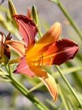 Pomarańczowy daylily Fotografia Stock