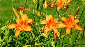 Pomarańczowy Daylily (Hemerocallis fulva) zbiory