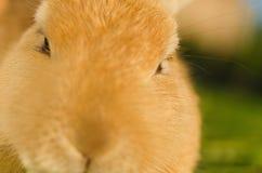 Pomarańczowy domowego królika głowy strzału zakończenie up Obraz Stock