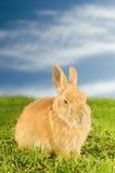 Pomarańczowy domowy królik na łące Zdjęcie Stock
