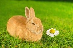 Pomarańczowy domowy królik wącha Chamomile kwiatu Fotografia Stock