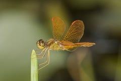 Pomarańczowy dragonfly na liściu Zdjęcia Stock