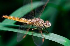 Pomarańczowy dragonfly na liściu w naturze Fotografia Stock