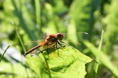 Pomarańczowy dragonfly na ostrzu trawa obraz royalty free