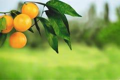 Pomarańczowy Drzewo Zdjęcia Royalty Free