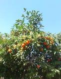 Pomarańczowy drzewo i niebo zdjęcie royalty free