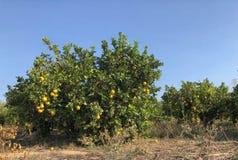 Pomarańczowy drzewo odizolowywający obrazy stock