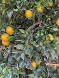 Pomarańczowy drzewo odizolowywający zdjęcie stock