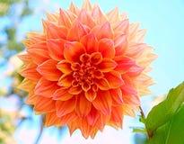 Pomarańczowy duży kwiatu okwitnięcie Zdjęcie Stock