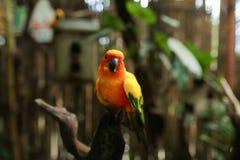 Pomarańczowy duży papuzi obsiadanie na gałąź w brown tle obrazy stock