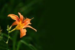 Pomarańczowy dzień lelui hemerocallis Zdjęcia Stock
