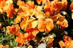 Pomarańczowy Dziki pansy lub altówka tricolor mali dzicy kwiaty z jaskrawymi otwartymi płatkami gęsto zasadzającymi w miejscowego obrazy stock