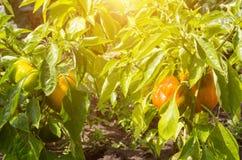 Pomarańczowy dzwonkowego pieprzu dorośnięcie w ogródzie, słońce, warzywo pieprz, świeżość zdjęcie royalty free