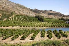 Pomarańczowy gaju Cederberg region Południowa Afryka Zdjęcie Stock