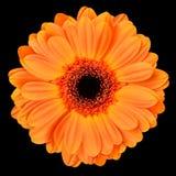 Pomarańczowy Gerbera kwiat Odizolowywający na czerni zdjęcia stock