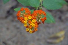 Pomarańczowy I Żółty Lantana kwiatu tło Zdjęcie Royalty Free