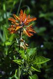 Pomarańczowy Indiański Paintbrush w Pełnym kwiacie obraz royalty free