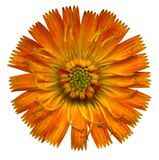 Pomarańczowy jastrzębiec   Obrazy Royalty Free