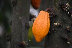 Pomarańczowy kakao ziarna strąka obwieszenie od drzewa obrazy royalty free