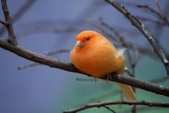 Pomarańczowy kanarek fotografia royalty free