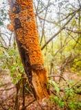 Pomarańczowy Kinkietowy grzyb zdjęcie stock