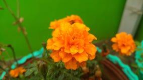 Pomarańczowy koloru kwiatu ostrości wizerunek Fotografia Royalty Free