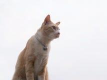 Pomarańczowy kot odizolowywający Obraz Royalty Free