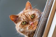 Pomara?czowy kot patrzeje w d?? od krzes?a z zielonymi oczami; figlarnie postawa obrazy royalty free