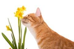 Pomarańczowy kot wącha daffodils zdjęcie stock