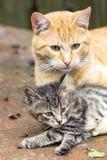 Pomarańczowy kot z figlarką zdjęcie royalty free