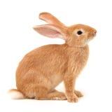 Pomarańczowy królik fotografia royalty free
