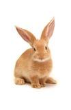 Pomarańczowy królik zdjęcia stock