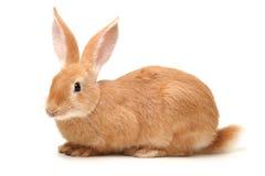 Pomarańczowy królik obraz royalty free