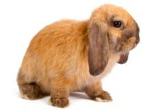 pomarańczowy królik Zdjęcie Stock