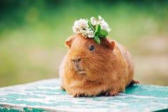 Pomarańczowy królik doświadczalny zdjęcia stock