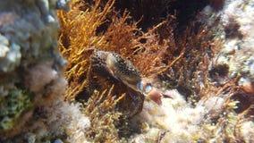 Pomarańczowy kraba napadanie ono bronić sardinia fotografia royalty free