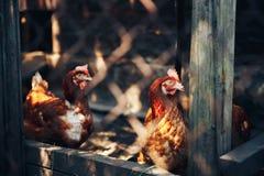 Pomarańczowy kurczak jest w domu obraz royalty free