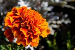 Pomarańczowy kwiat, nagietki w ogródzie w późnym lecie Fotografia Royalty Free