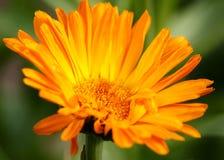 Pomarańczowy kwiat zieleni tło Obrazy Royalty Free