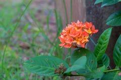 Pomarańczowy kwiatu wezwania lxora z zielonym liściem obraz stock