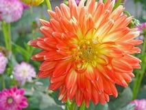 Pomarańczowy kwiatu zbliżenie Zdjęcia Stock