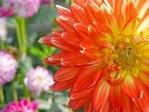 Pomarańczowy kwiatu zbliżenie Obraz Royalty Free