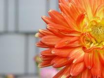 Pomarańczowy kwiatu zbliżenie Fotografia Royalty Free