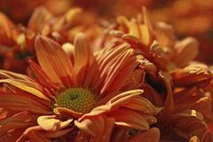 Pomarańczowy kwiatu zbliżenie w polu fotografia stock