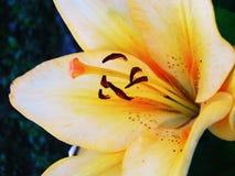 Pomarańczowy leluja kwiat na ciemnozielonym tle fotografia royalty free