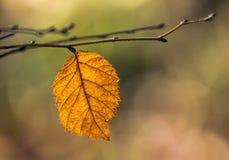 Pomarańczowy liść na gałąź w jesieni Zdjęcia Royalty Free