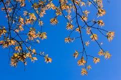 Pomarańczowy liść z niebieskim niebem Zdjęcia Royalty Free