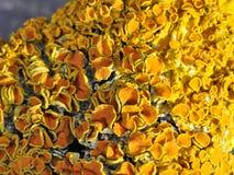 Pomarańczowy liszajów złotorostów polycarpa Fotografia Royalty Free