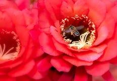 Pomarańczowy Lufowego kaktusa kwiatu zakończenie Up i pszczoła obraz royalty free