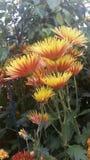 pomarańczowy mamami żółty Fotografia Stock
